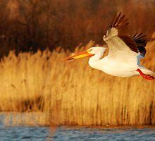 American White Pelican - Take Off by Ryan Houston