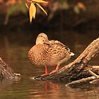Lake Okauchee Mallard by Thomas Murphy