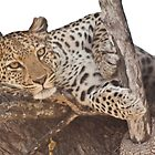 Watchful leopard by fitch