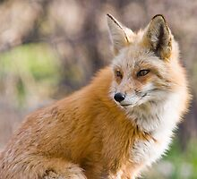Red Fox Portrait by Jay Ryser