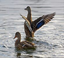 Mallards Flap On Water by Happystiltskin