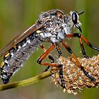 Robber Fly by Christopher Clarke