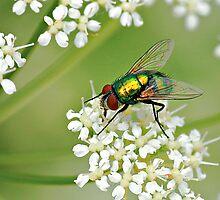 GREEN BOTTLE FLY by Sandy Stewart