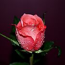 A SINGLE ROSE by KeepsakesPhotography Michael Rowley