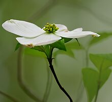 Dogwood Blossom by Margaret Barry