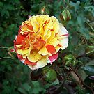 Rose of many colours by LoneAngel