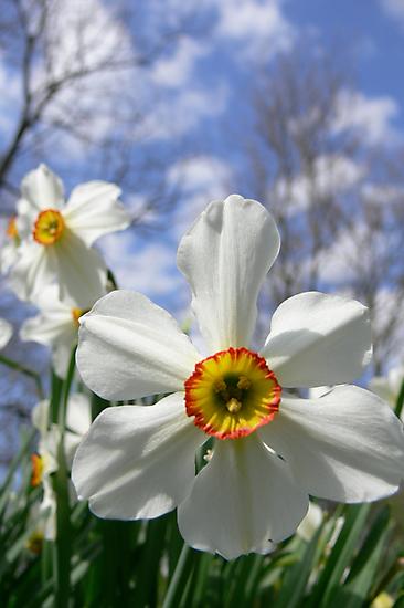 Poet's Daffodil by Rachel Leigh