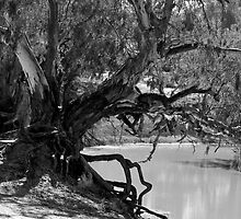 River Red Gum - Darling River, Kinchega NP, NSW by Jeff Catford