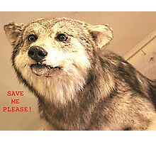 Save The Gray Wolves Photographic Print
