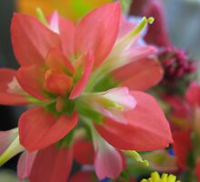 Indian Paint Brush (color) by NicholeHoag