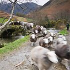 Race Ewe Home! by Avril Jones