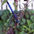 Blue Dragonfly by ChereeCheree