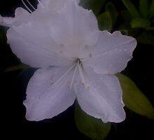 white azalea by melynda blosser