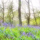 Bluebell Wood by Paul Gibbons