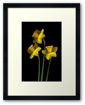 Daffodils by Nancy Polanski