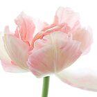 Pale Tulip by Ann Garrett