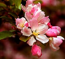 Crab Apple Blossoms by Deborah  Benoit