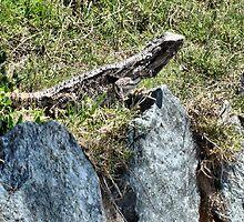Sunning Lizard by KazM