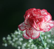 carnation by Roxanne Weber