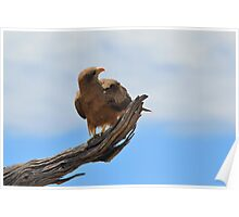 Yellow Billed Kite - Looking at Heaven Poster