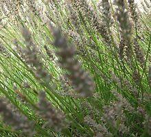 lavender by Glosoli