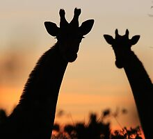 Giraffe Sunset - African Wildlife - Peaceful Tranquility by LivingWild