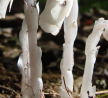 Indian Pipes In The Forest Sticker