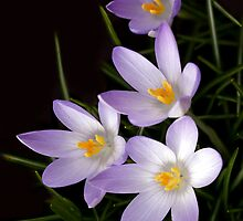 Lilac Frenzy by Krys Bailey