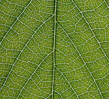 Leaf Veins by poise