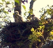 Baby Hawks by Kat Miller