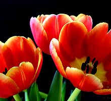 Tulips by Janine  Hewlett