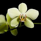phalaenopsis by Jan Prchal