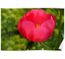 Vivid Spring - Impossibly Pink Peony Unfolding Poster