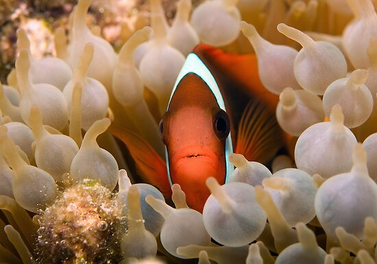 Nemo's Relative by aabzimaging