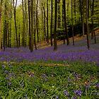 Bluebells in bloom, Halle, Belgium by Suraj Mathew