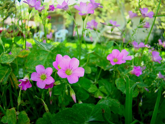 Front Yard Clover Flowers by Wanda Raines