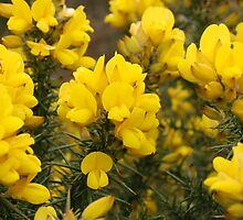 Gorse Flowers by Roy McPherson
