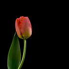red tulip by Rotschopf