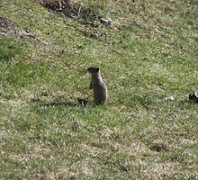 Groundhog by shutterup