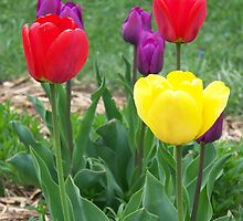 Tulips by ChereeCheree