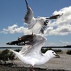 Seagulls landing at Tin Can Bay by TonySlattery
