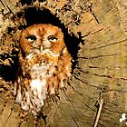 Eastern Screech Owl by imagetj