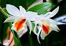 White And Orange Orchid by Dave Lloyd