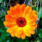Orange Daisy by buddykfa