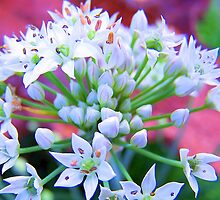 Wild Garlic by buddykfa