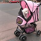 Poodle in dog stroller by happyphotos