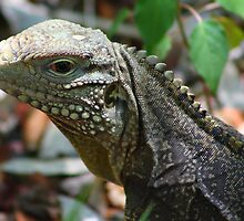 The Iguana   (Cuba)  by jdmphotography