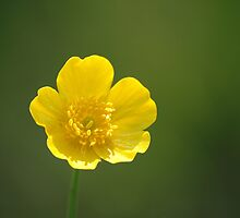 Build Me Up Buttercup ....... by godders