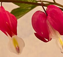 Bleeding Heart Macro by Sandra Foster