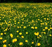 Buttercups in Malmesbury by Danya